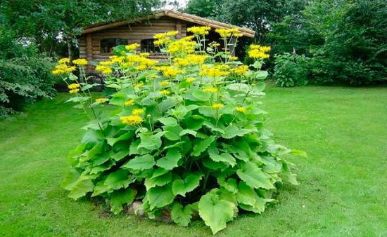 Целебный гигант На задворках садовых участков, у заборов и компостных куч часто высаживают высокорослый девясил. Этот гигант (высотой до 2-2,5 м) с золотисто-желтыми цветками, собранными в