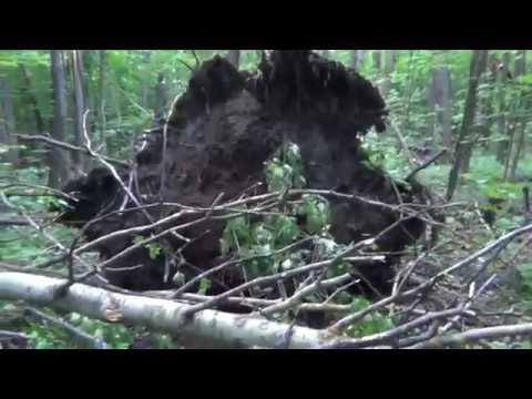 Бурелом в лесу после урагана.В районе ЦОПа г. Саранск ( 02.07.2018)