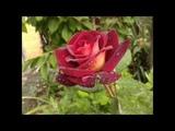 Розарий Роза Eddy Mitchell (Meilland Франция, 2008)