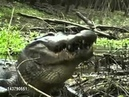 Crocodile eats a huge turtle
