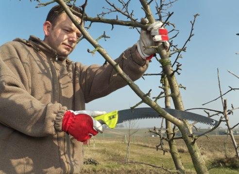 Проведение весенний обрезки яблонь.