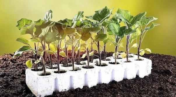 баклажан: выращиваем рассадой баклажан – родственник томата, перца, картофеля. он более теплолюбив, чем томаты и перцы, поэтому за исключением южных районов единственный надежный способ
