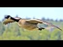 У дикого гуся могучии крылья христианское пение
