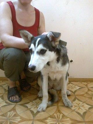 волки, выставка, животные, западно-сибирская лайка