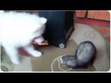 Cute Ferret Plays With Dog Friend | Unlikely Friendship