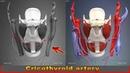 Cricothyroid artery Arteries of head and neck 3D Human Anatomy Organs