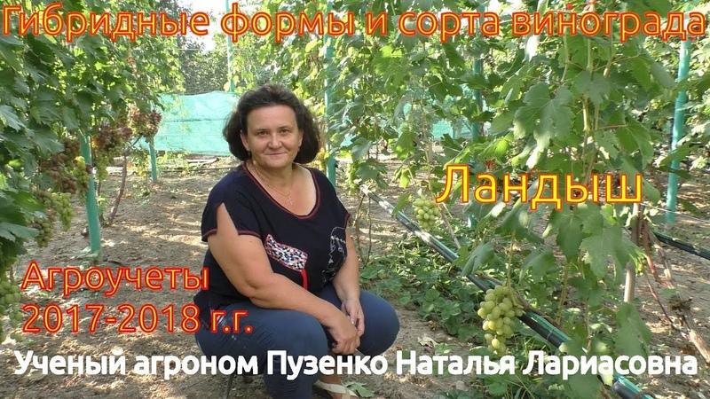 Виноград Ландыш - один из лучших мускатных летних сортов на участке Пузенко Натальи Лариасовны