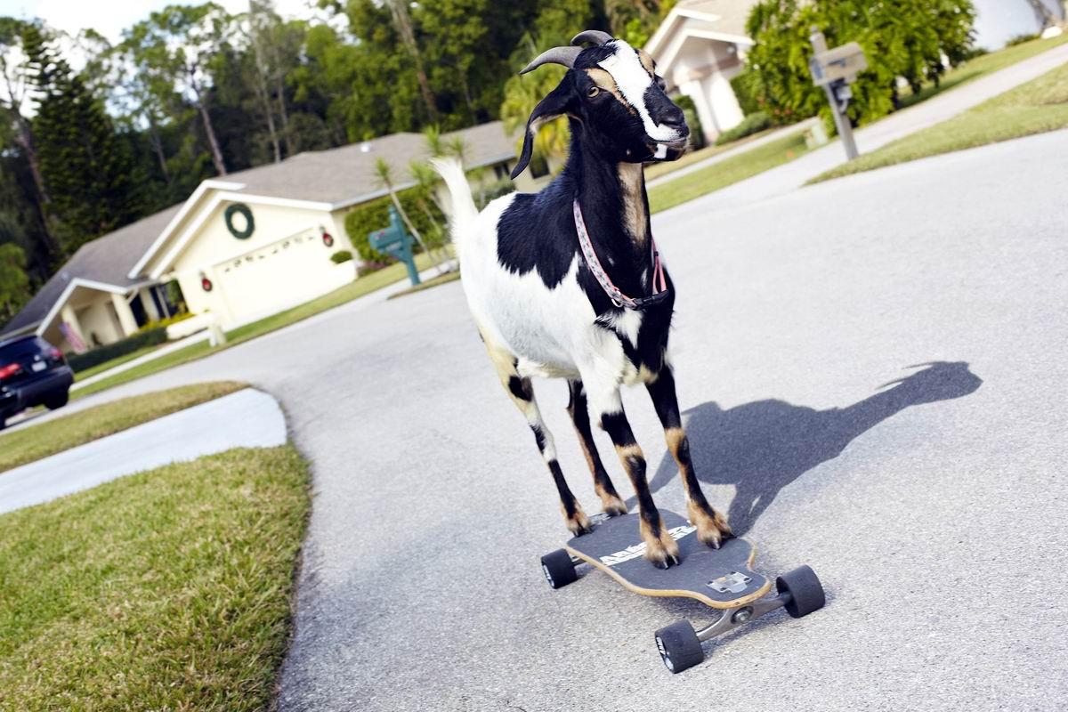 Ух, сейчас как прокачусь!: Козлик на скейтборде