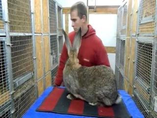 Крольчиха породы Бельгийский великан