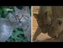 Nat Geo Wild Дикая сторона кошек 1080р