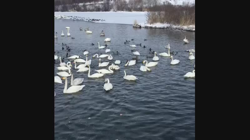 Лебединый заказник (Алтайский край, Смоленский район, озеро Светлое)