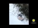 Большая панда в снегу. Смитсоновский парк