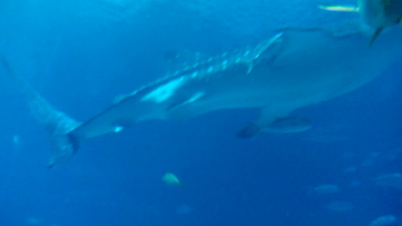 Atlanta Aquarium. Whale sharks and co. (3)