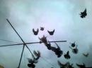 Николаевские торцовые голуби Красноармейска