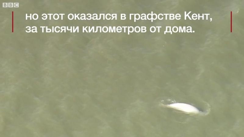 Кит Белуха заплыл в Темзу