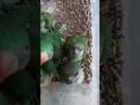 Александрийский и сенегальский попугай птенцы выкормыши