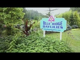 Blue Ridge Daylilies - 2017 Bird's Eye View