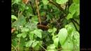 Крапи́вник, или подкоре́нник, оре́шек лат. Troglodytes troglodytes