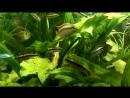 АкваМир - Пельвикахромис пульхер / Попугайчик (Pelvicachromis pulcher) 22