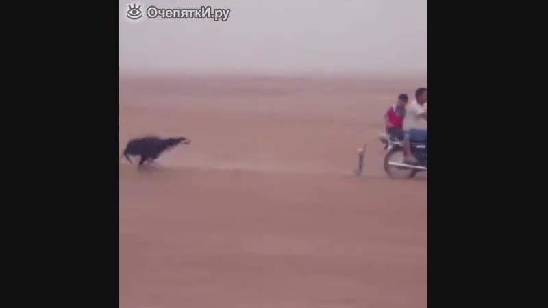 Целеустремлённая скоростная собака
