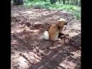 Прогулка в лес, Тай устал, ему жарко. )