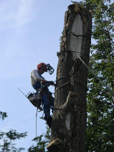 Спилить,удалить,свалить древо в Коломне,Коломенском районе Фото (Коломна) Спилить удалить свалить дерево на участке