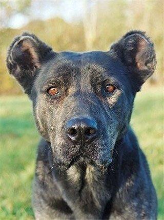 Азорская пастушья собака – древняя португальская порода. Эти собаки чрезвычайно редки, встретить их можно, лишь побывав на Азорских островах