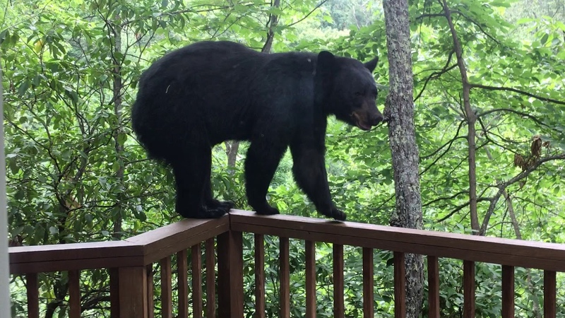 Momma Bear and Cub On Porch in Gatlinburg BJBourg