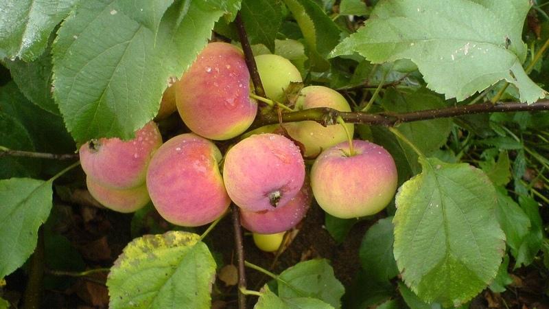 Зимостойкие яблони. Саженцы.