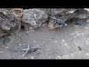 Игуана Марина и ее сиблинги. Islote Las Tintoreras, Galapagos