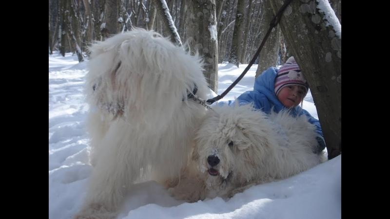 Южнорусская овчарка Геарес Опричник и его юный хендлер Таня