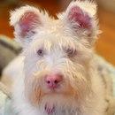Шерлок — пес-альбинос, которого оставили из-за его болезни…