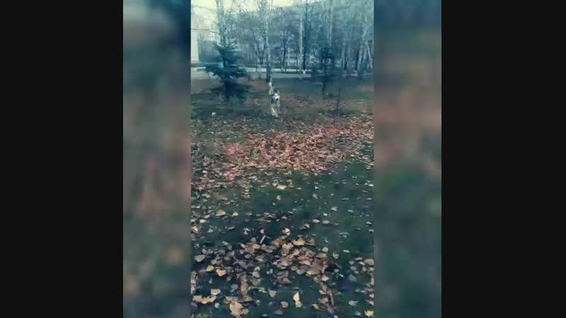 Сибирский хаски Instagram @family golovanovy кинология зоопсихолгия дрессировка собак