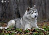 Хаски - добродушие и благородство собаки-волка.