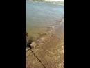 Эстонская гончая (estonian hound swimming)