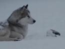 Клип про любовь и преданность собак. Из фильма  Белый плен .