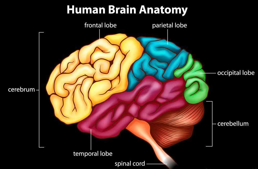 Спинной мозг отвечает за передачу сообщений в организм от мозга.