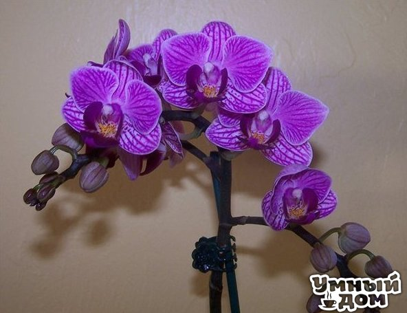 Как размножать орхидею фаленопсис? - Очень просто!!! Размножить фаленопсис получится лишь в том случае, если она здорова, а также получает необходимые питательные вещества, достаточное количество света и влаги. Отличительной особенностью фаленопсисов является то, что этот вид орхидеи не имеет псевдобульб, отвечающих за накопление питательных веществ. И если некоторые орхидеи с псевдобульбами успешно размножаются делением корневища, то для фаленопсисов такой способ неприемлем. В естественной…