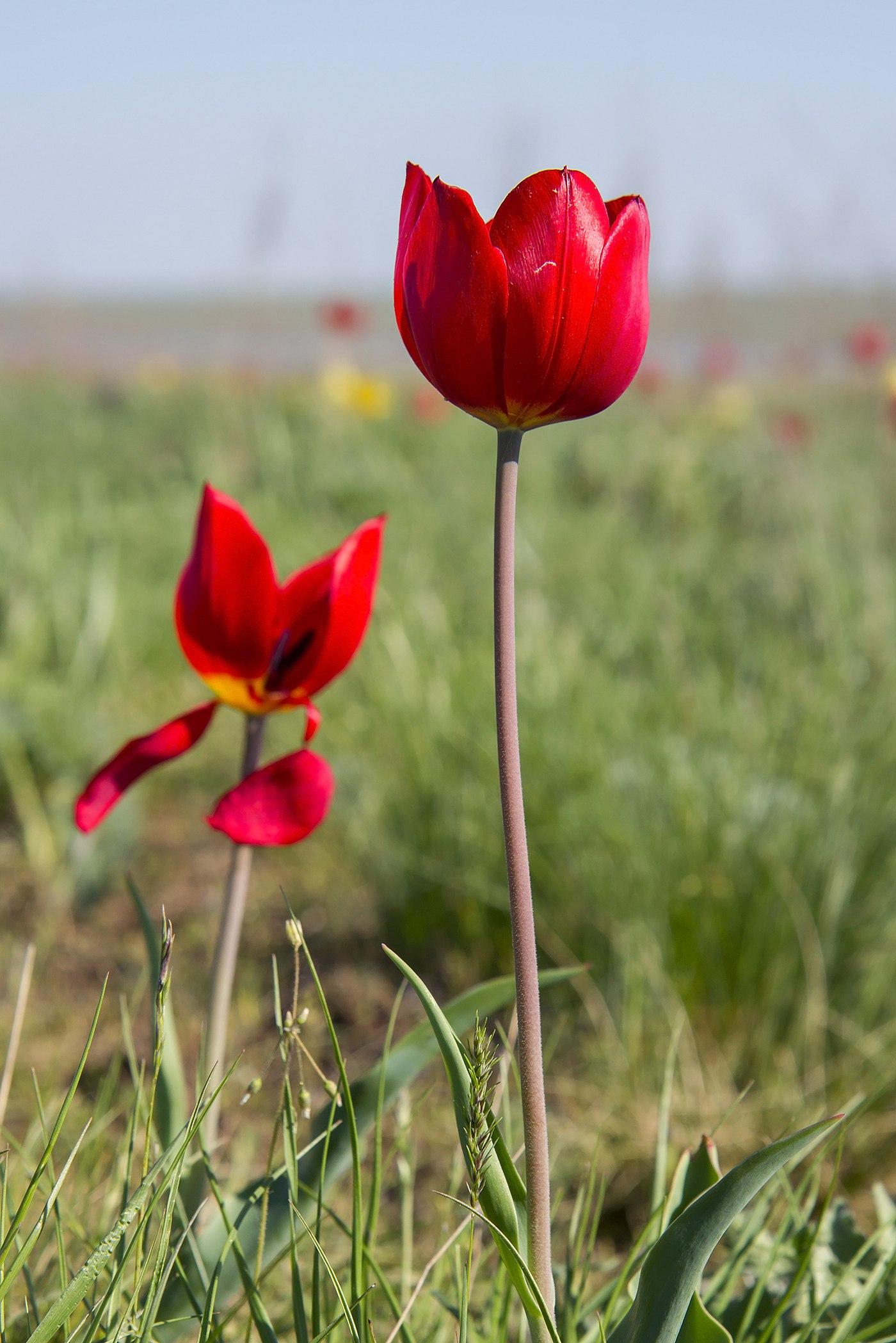 Картинки тюльпаны шренка