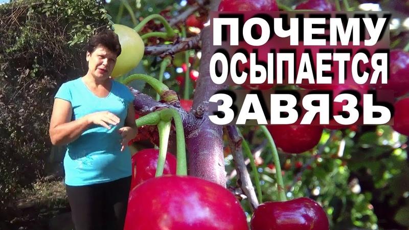 Хотите стабильный урожай вишни Узнайте почему осыпается вишня