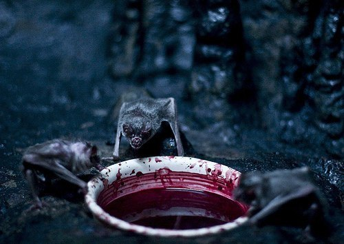 Vampire bats feeding on humans