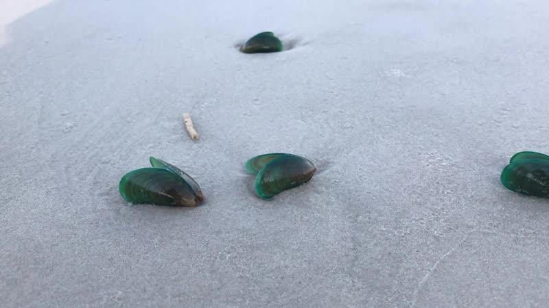Тайланд. г. Хуа Хин. На берег пляжа океаном вынесло множество зеленовато-перламутровых мидий