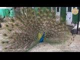 Брачные танцы павлинов. Тайган   Marriage dances of peacocks. Taigan