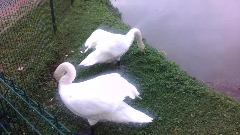 Лебеди в Николо-Пешношском монастыре.