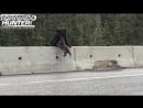 Медведица забирает медвежонка с проезжей части