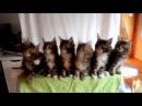 Синхронные танцы маленьких котят