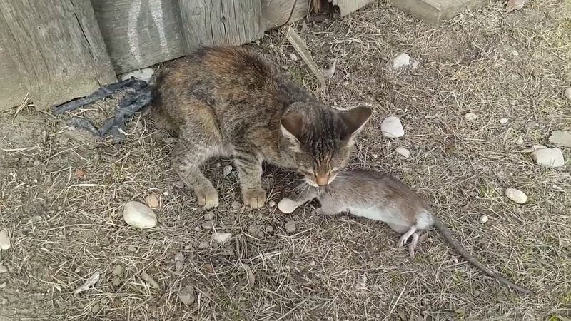 Бой кошки с огромной крысой