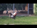 Венценосный журавль, Мос. зоопарк