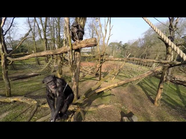 Chimpansees halen drone naar beneden en filmen elkaar Chimpanzee