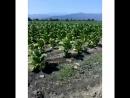 Выращивание Вирджинии в Азербайджане г.Закатала